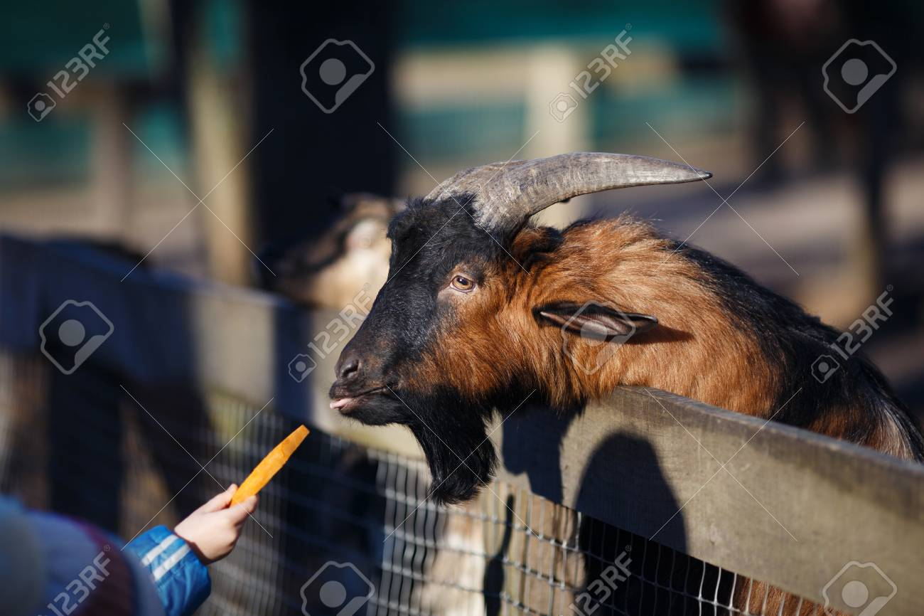 People and animals  Child feeding a goat with carrot in the zoo