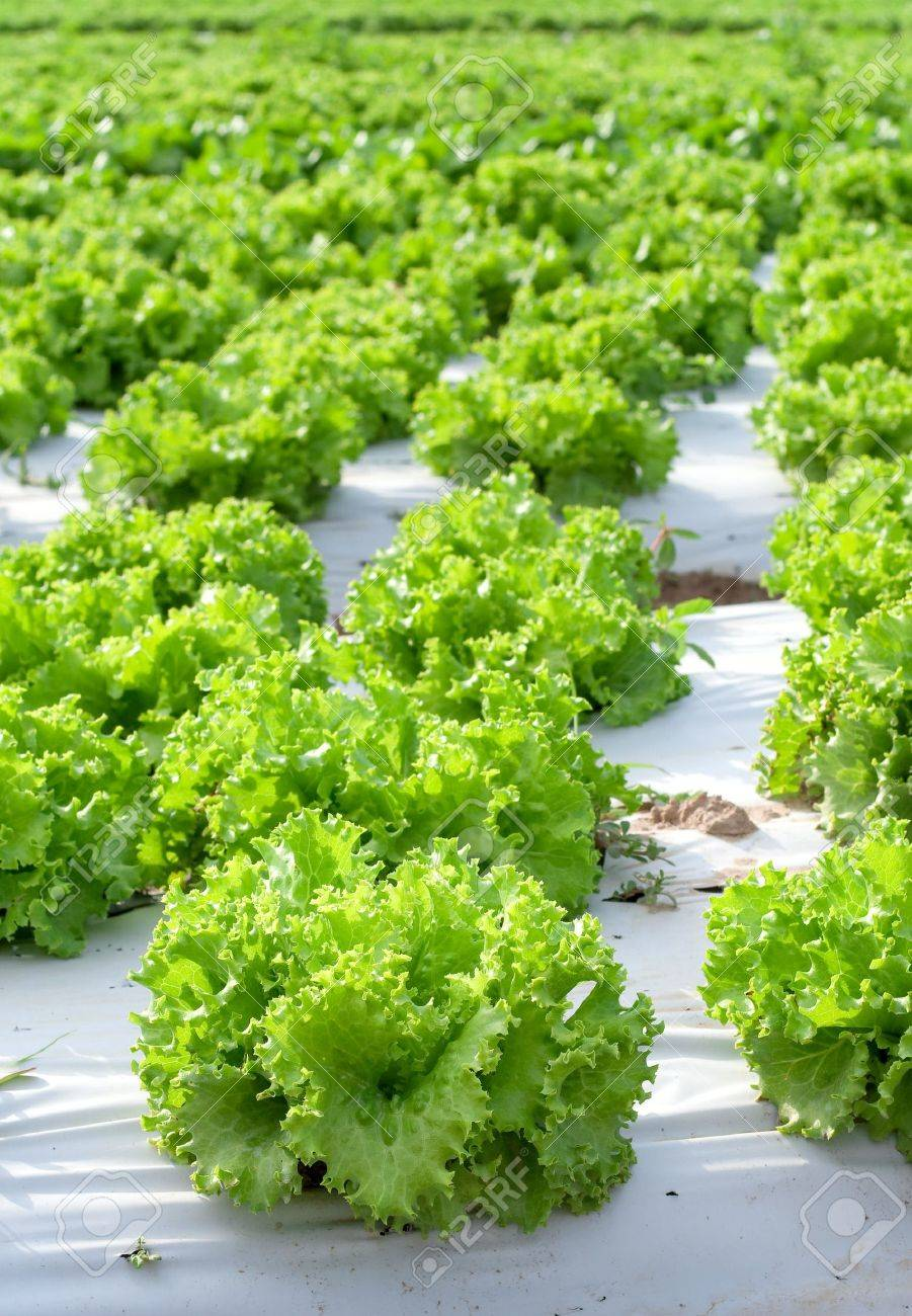 View of bright green lettuce fields Stock Photo - 6197846