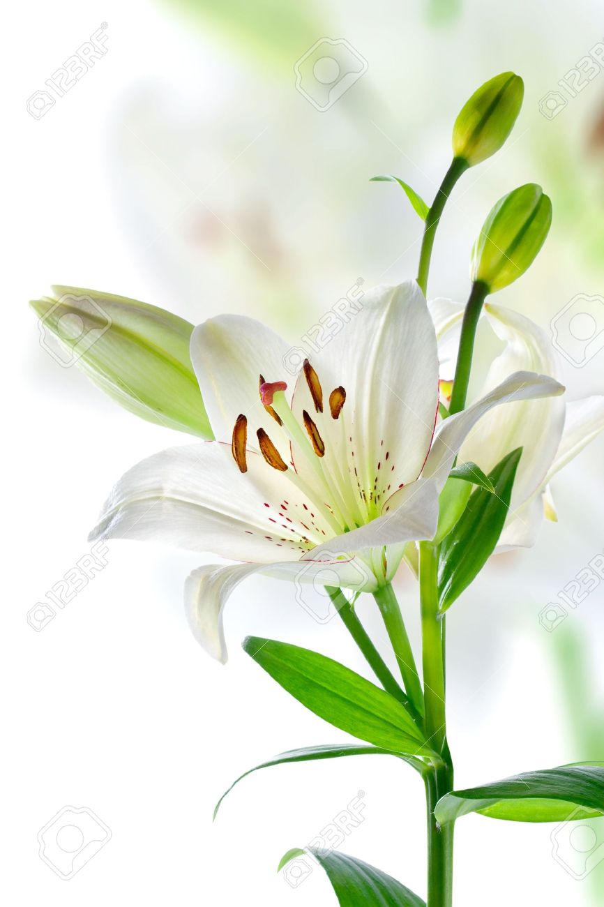 beautiful white lily flowers, isolated on white stock photo, Natural flower