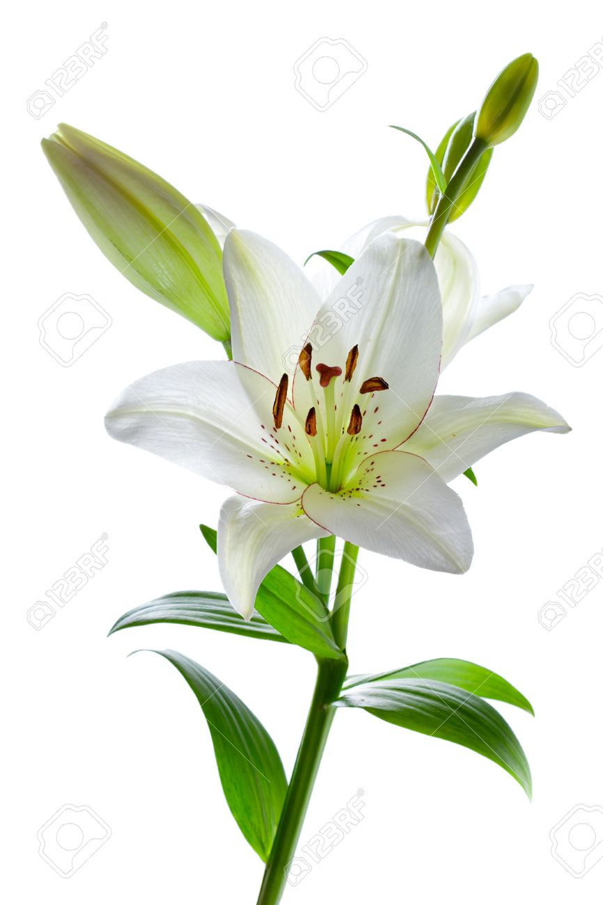 Beautiful White Lily Flowers Isolated On White Stock Photo Picture