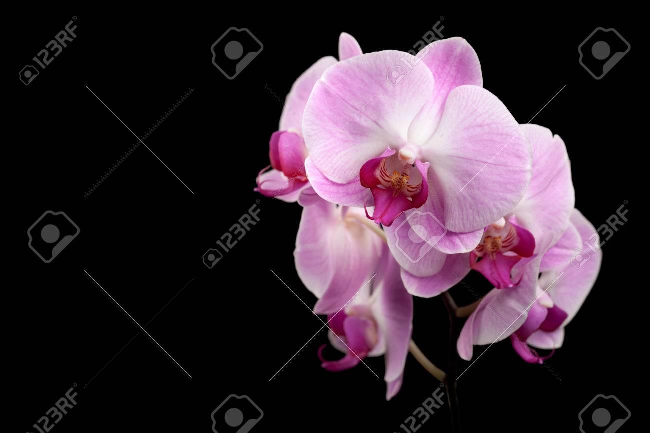 Schöne lila orchidee blumen isoliert auf schwarz lizenzfreie fotos ...
