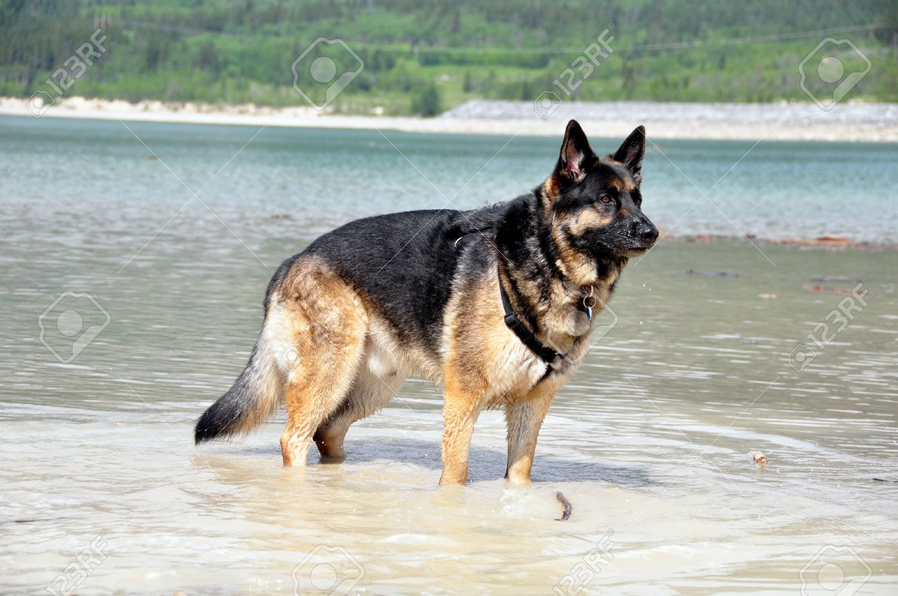 Black And Tan German Shepherd Dog Stock Photo Picture And Royalty