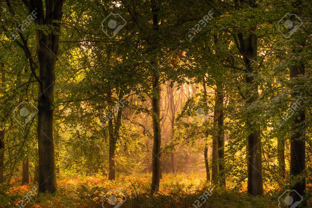 Beech Woodland in Autumn Sunshine - 158273680