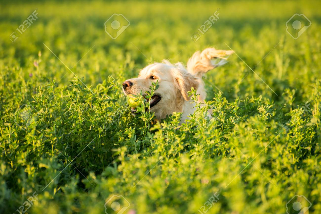 A Golden Retriever is deep in the farmland fields, with a tennis ball in her