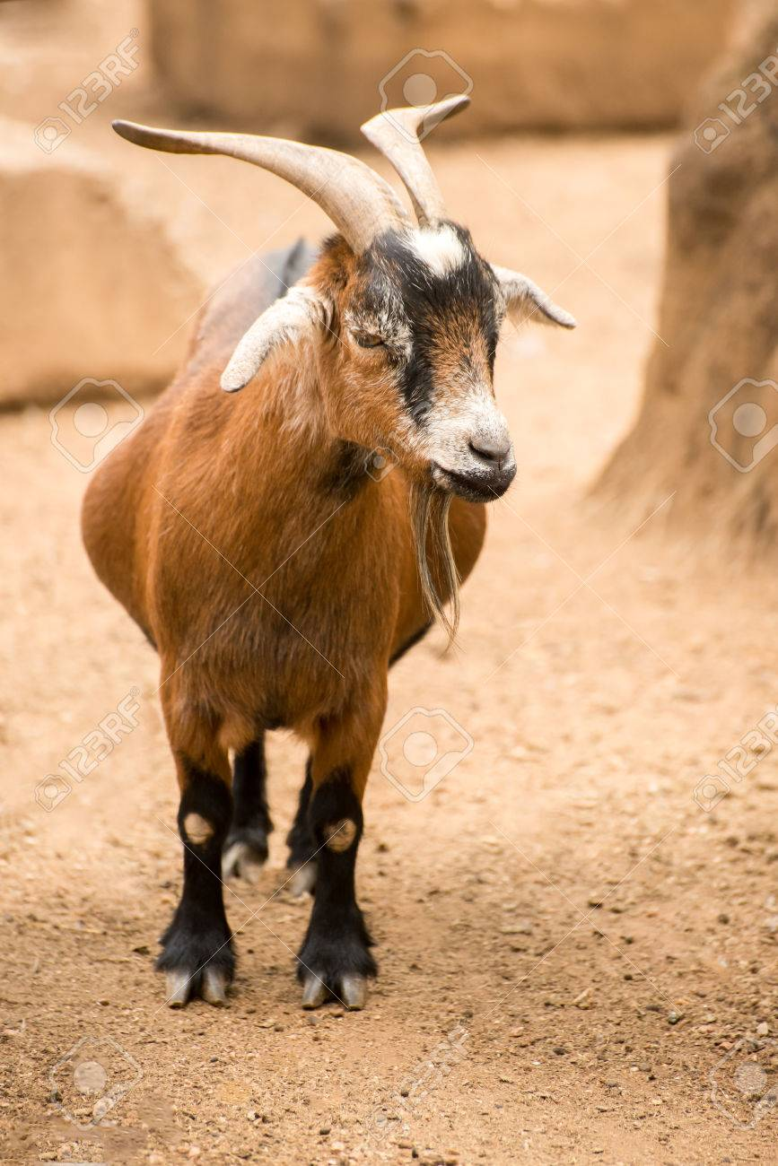 A Pygmy Goat Stands In Her Dusty Sandy Pen On Farm Stock Photo