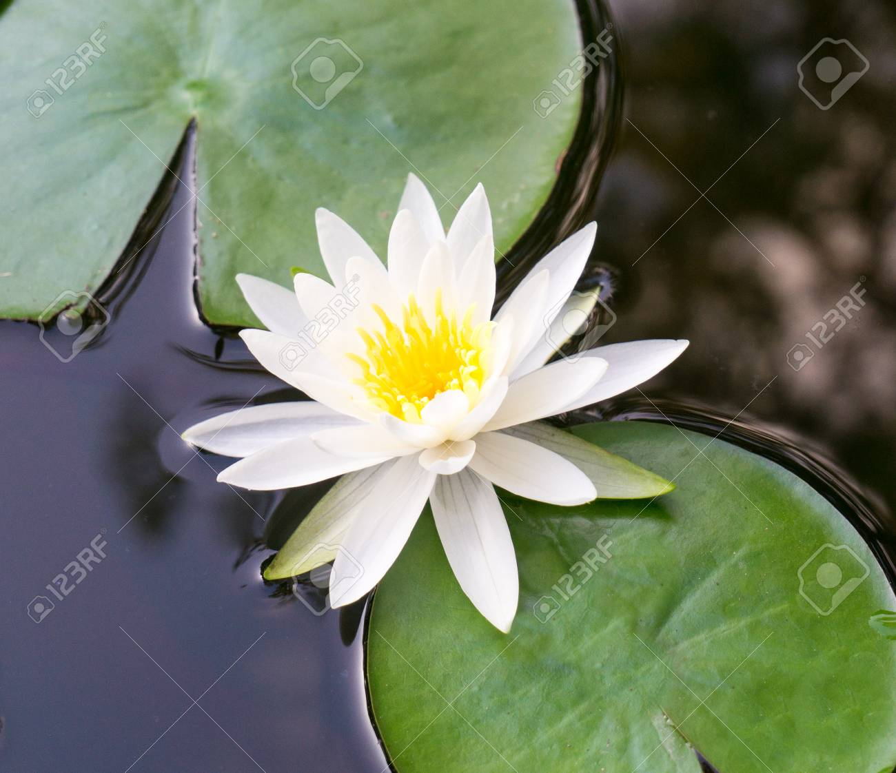 An up close view of a white lotus flower blooming and lily pad an up close view of a white lotus flower blooming and lily pad floating in a izmirmasajfo