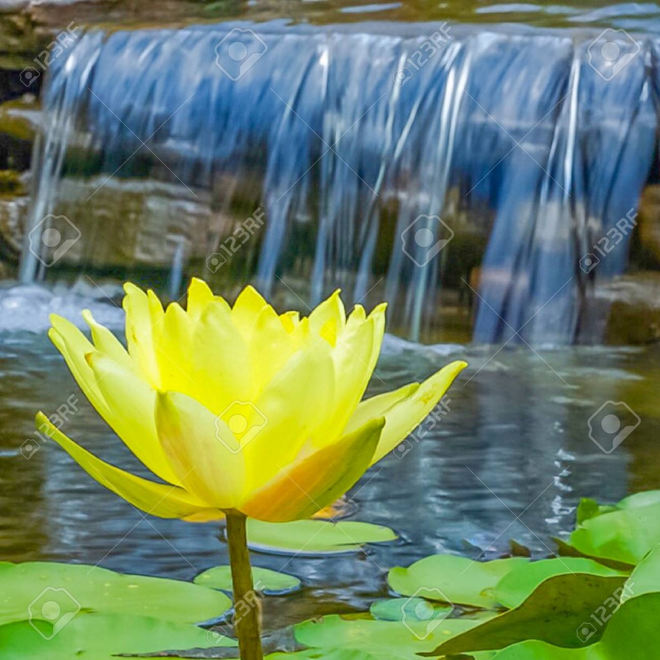 A Yellow Lotus Flower And Lily Pads In A Pond With A Waterfall