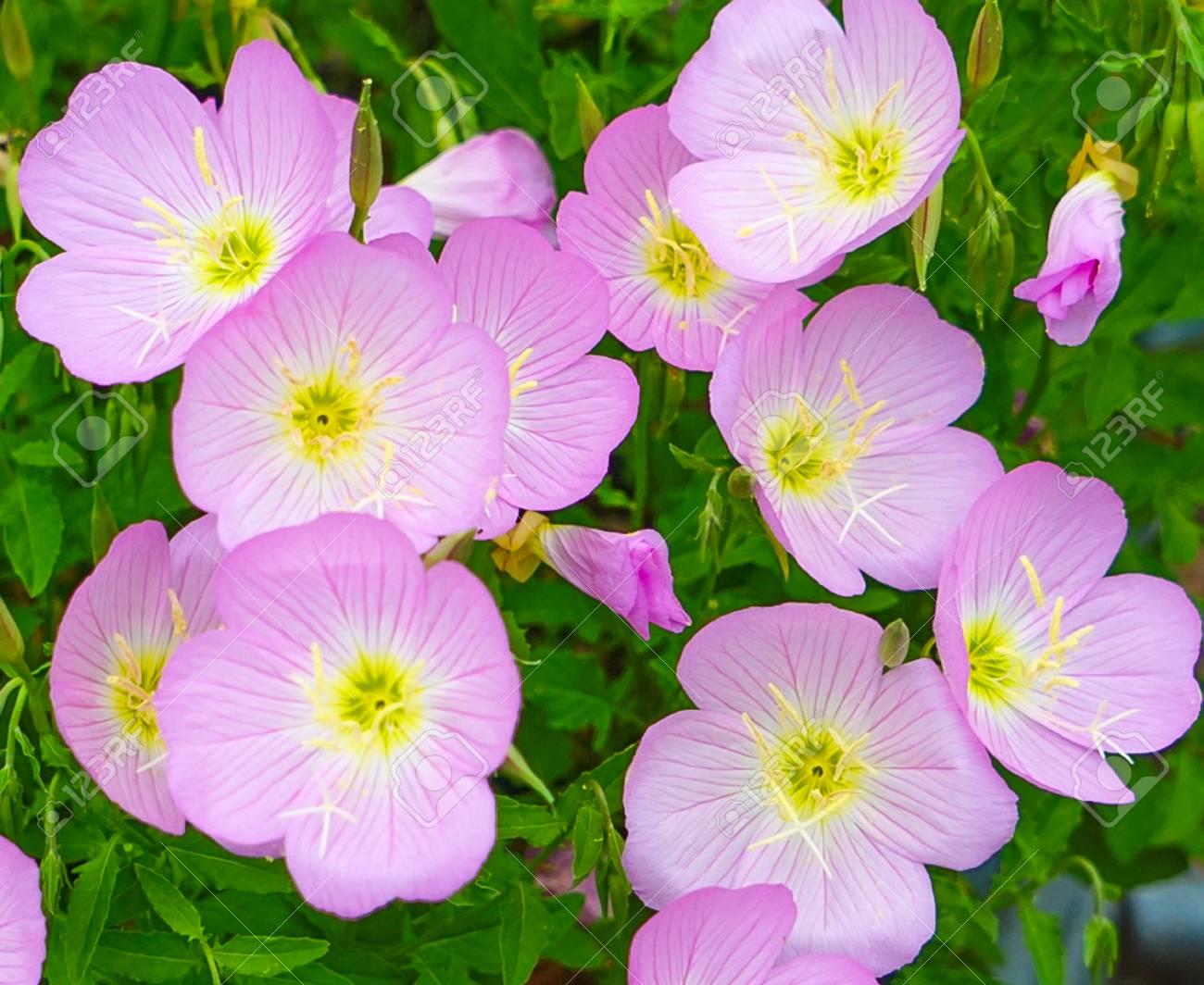 Mexican Primrose Flower Blossoms Oenothera Speciosa Also Known