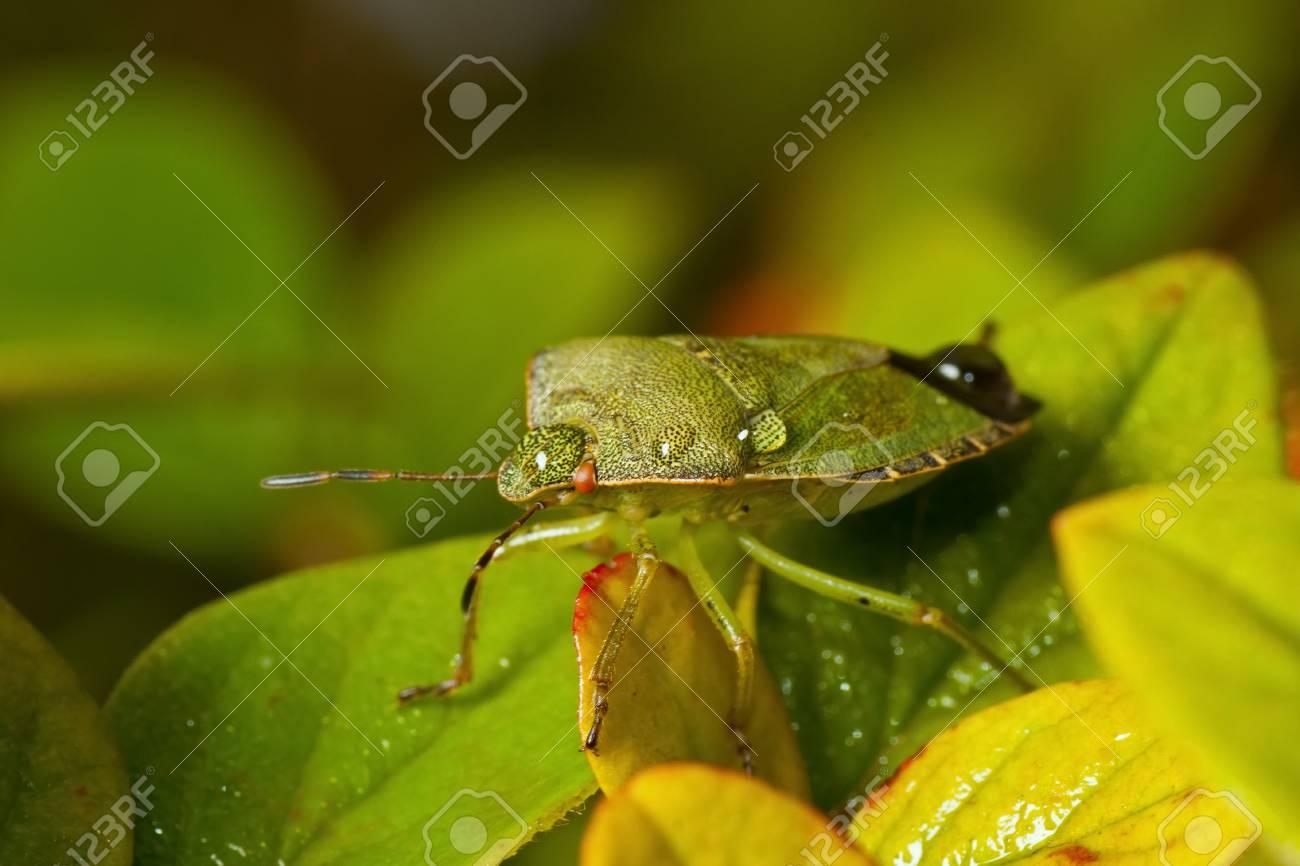 Green shieldbug with rain drops on the back Stock Photo - 19893623