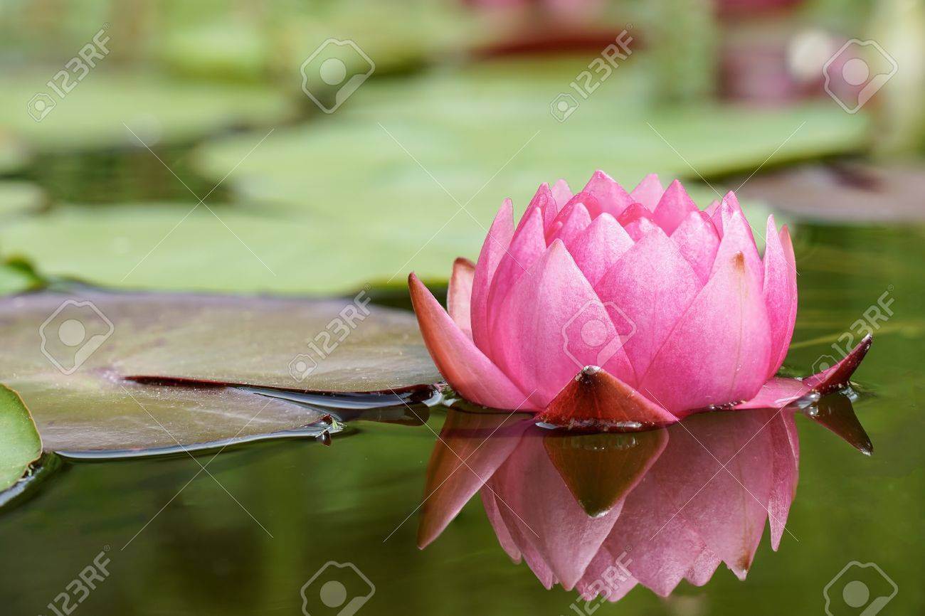 Close up photo of red water lily flower with shallow depth of close up photo of red water lily flower with shallow depth of field stock photo izmirmasajfo