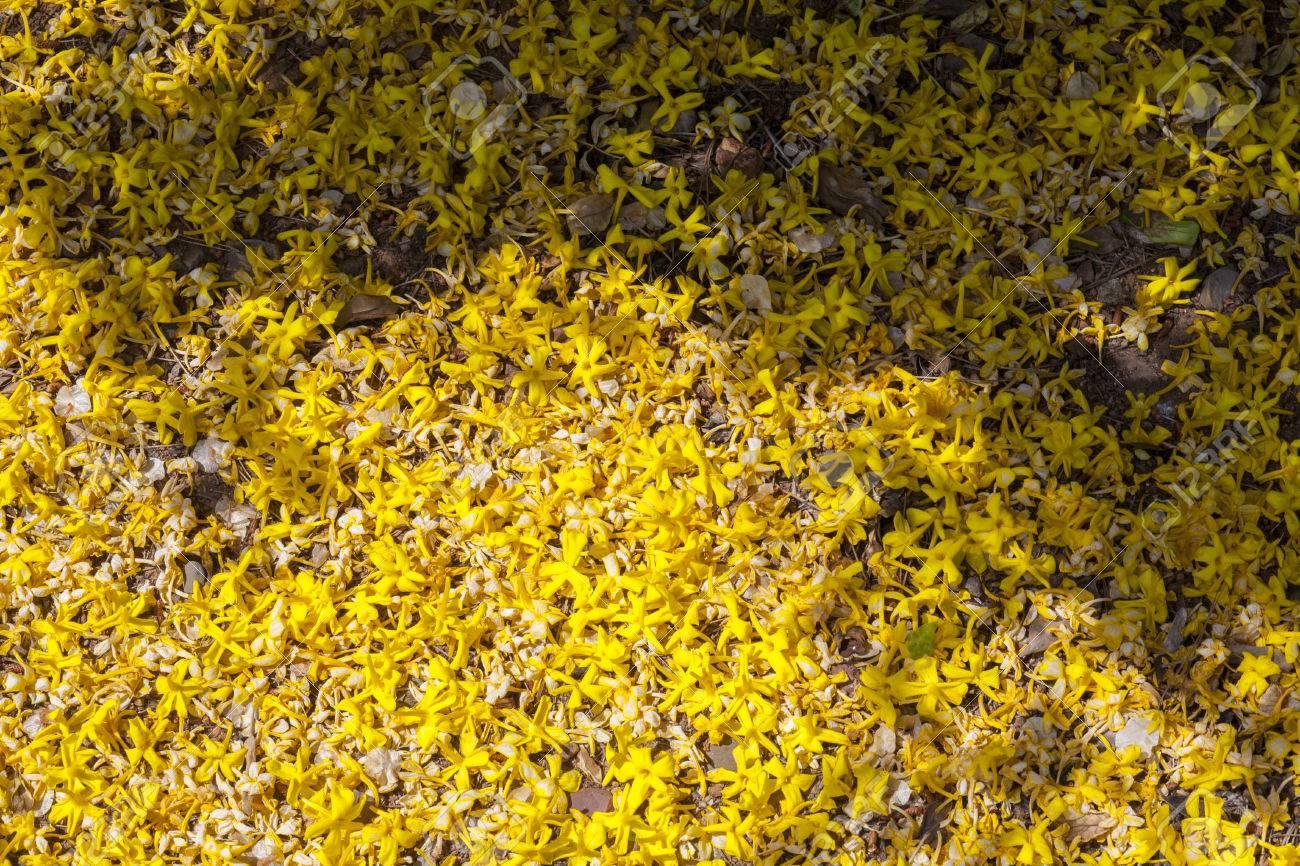 Garden floor ground of fallen yellow jasmine flowers jasminum garden floor ground of fallen yellow jasmine flowers jasminum mesnyi stock photo 78893051 izmirmasajfo Images