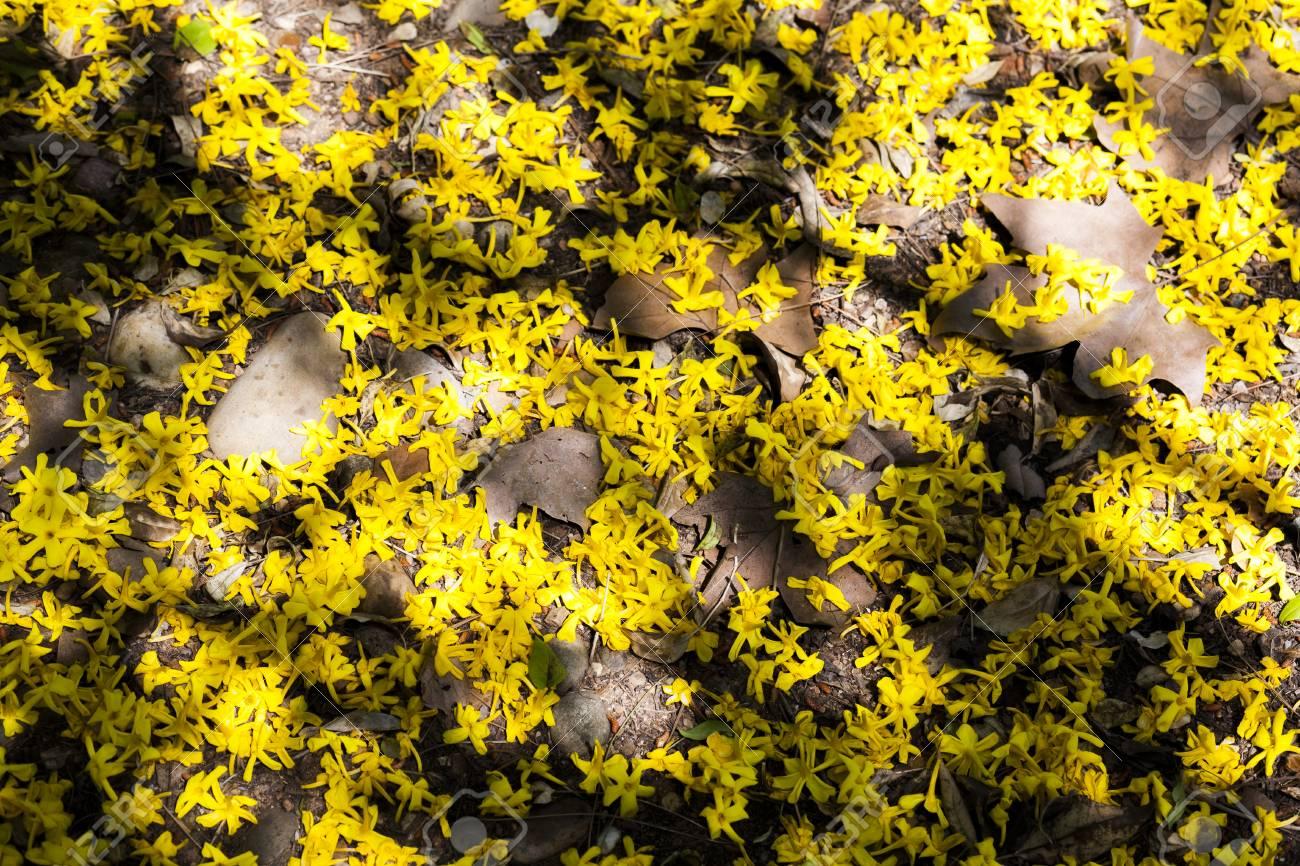 Garden floor ground of fallen yellow jasmine flowers jasminum garden floor ground of fallen yellow jasmine flowers jasminum mesnyi stock photo 78893018 izmirmasajfo Images