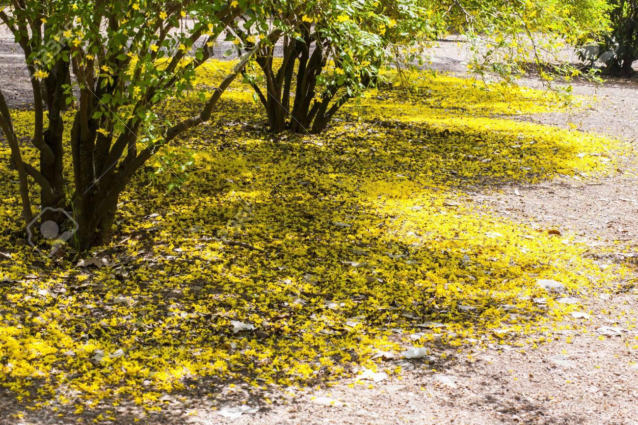 Garden floor ground of fallen yellow jasmine flowers jasminum garden floor ground of fallen yellow jasmine flowers jasminum mesnyi stock photo 78893022 izmirmasajfo Images