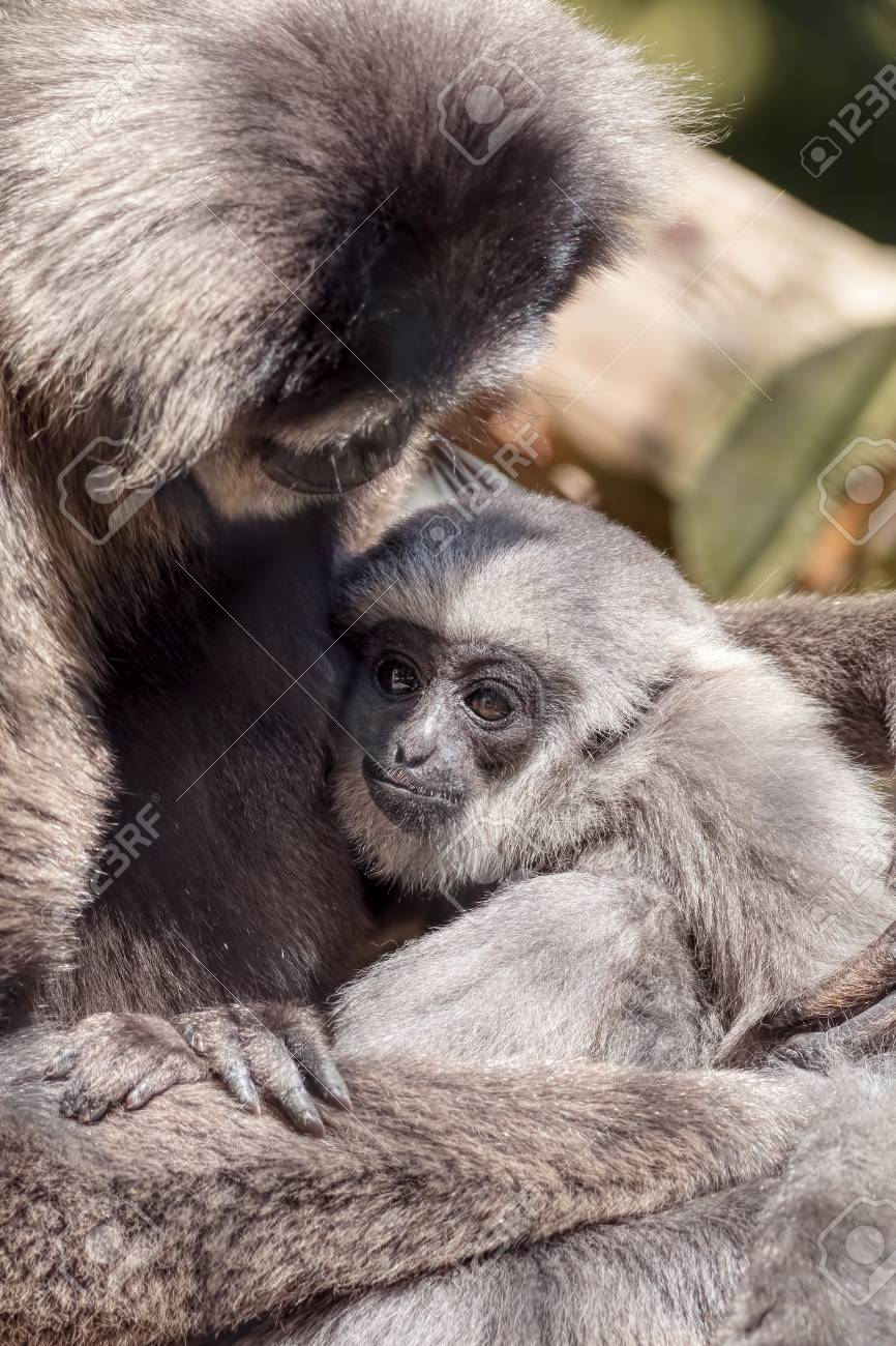 Stock photo young silvery moloch gibbon with mother