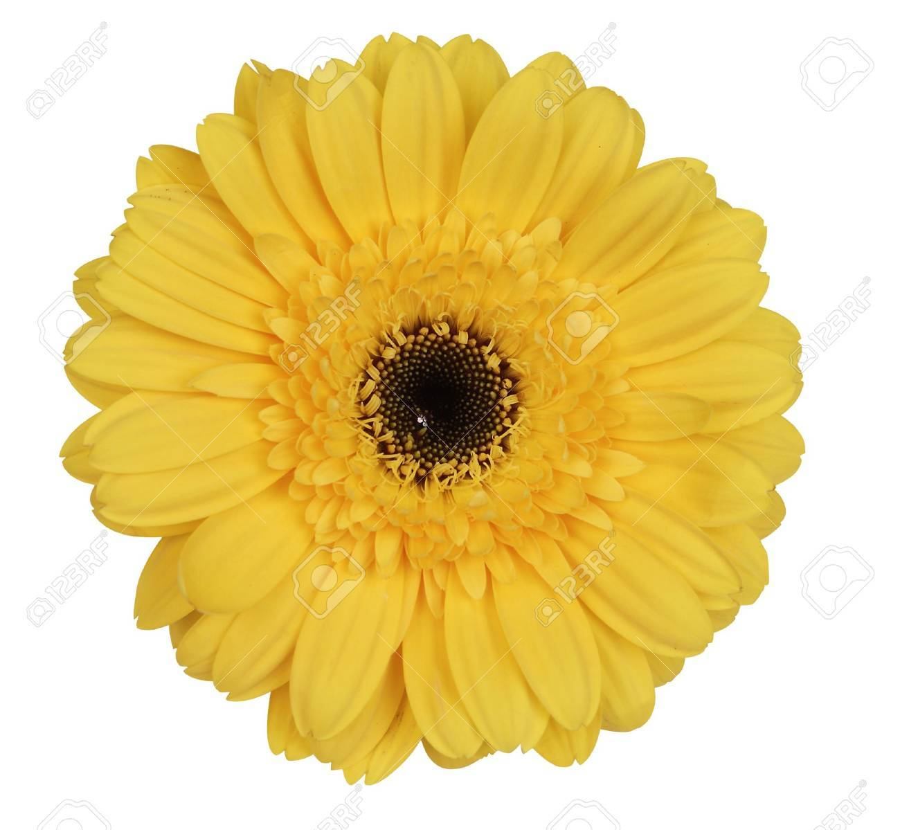 Yellow gerber daisy on white background Stock Photo - 7049611