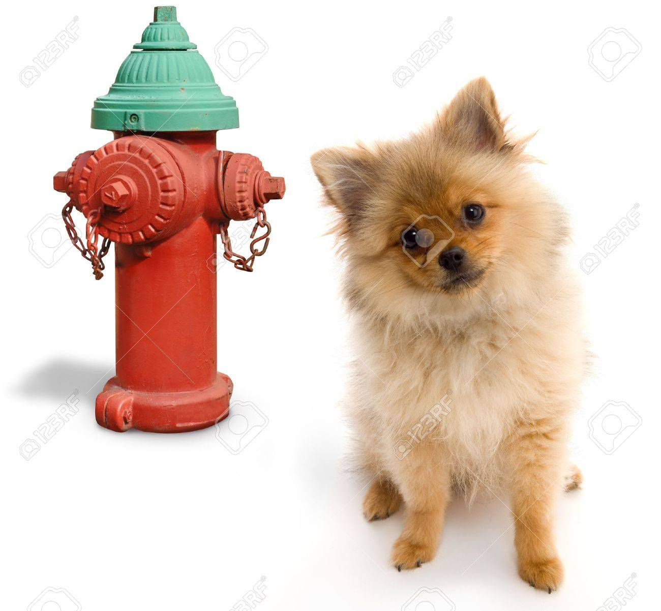 Pomeranian posing next to a fire hydrant on a white background Stock Photo - 7053588