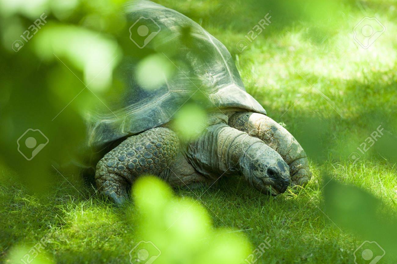 Galapagos Tortoise - 20388771