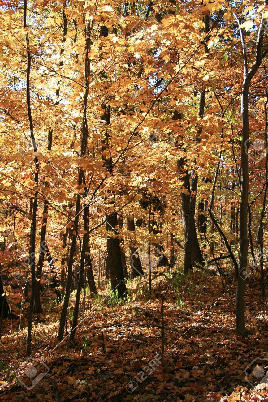 Fall Colors in the Forest on a Clear Day Stock Photo - 3796851