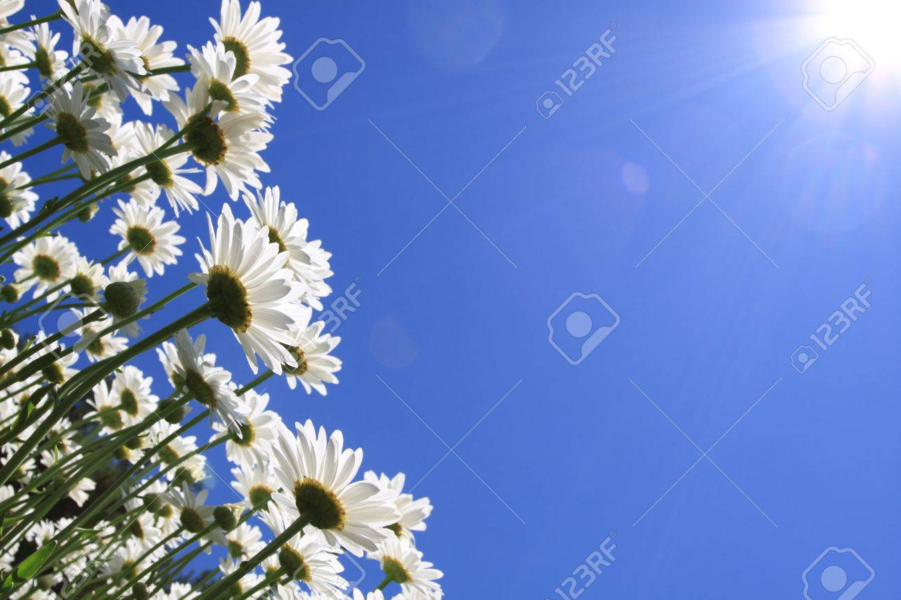 Summer Flowers (daisies) and blue sky background Stock Photo - 8052751