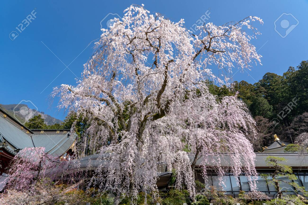 Kuonji Temple S 400 Year Old Weeping Cherry Trees In Minobu