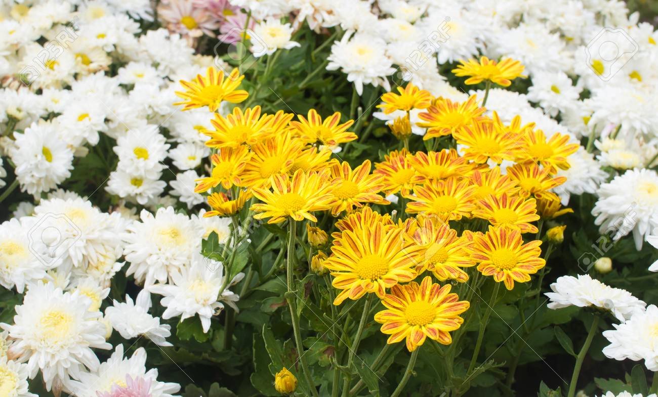 Beautiful Yellow Mum Flower In The Garden Stock Photo Picture And Royalty Free Image Image 94148817