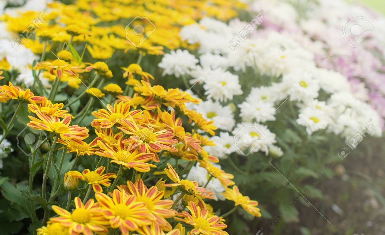 Beautiful Yellow Mum Flower In The Garden Stock Photo Picture And