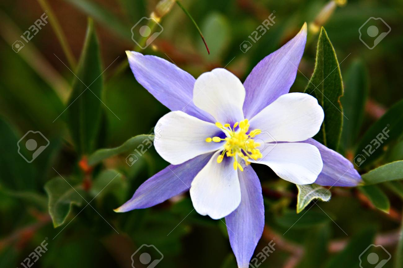 Colorado Columbine Flower Stock Photo Picture And Royalty Free