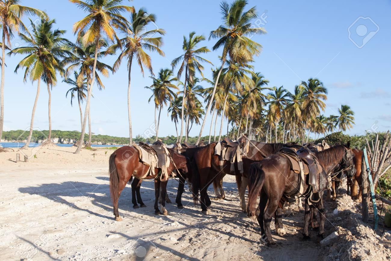 horses tied up at macao beach north of punta cana stock photo