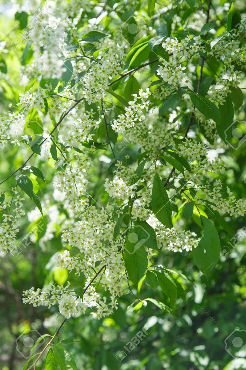 The Dense Small White Flowers On The Tree Stock Photo Picture And