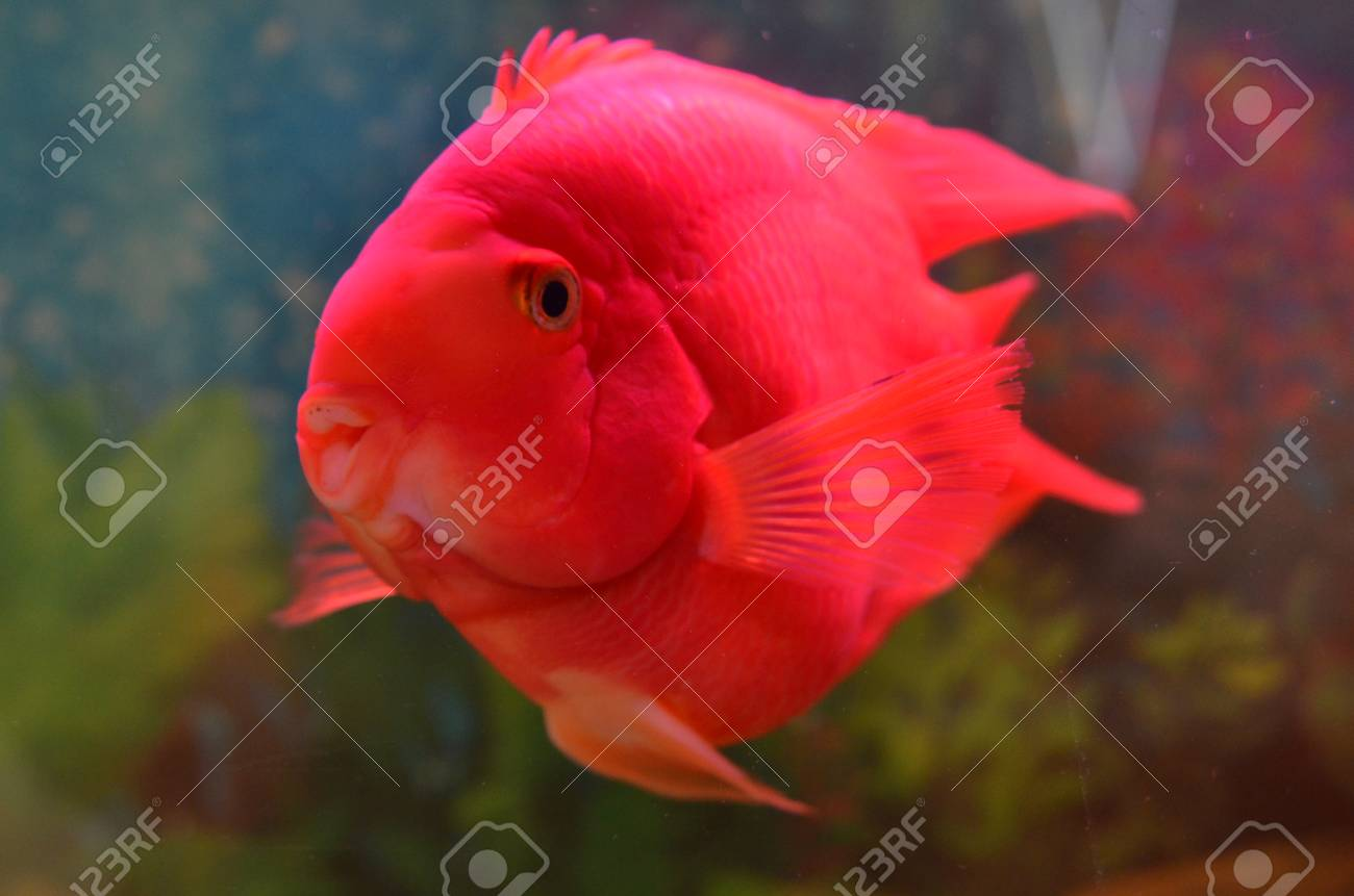 Blood Parrot Cichlid In Water Stock Photo, Picture And Royalty Free ...