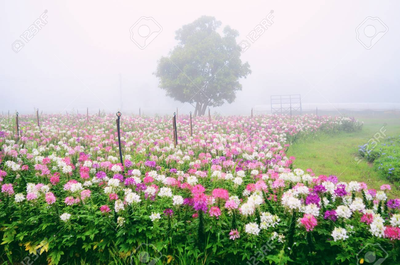 Cleome Spinosa Purple And White Spider Flower Stock Photo Picture