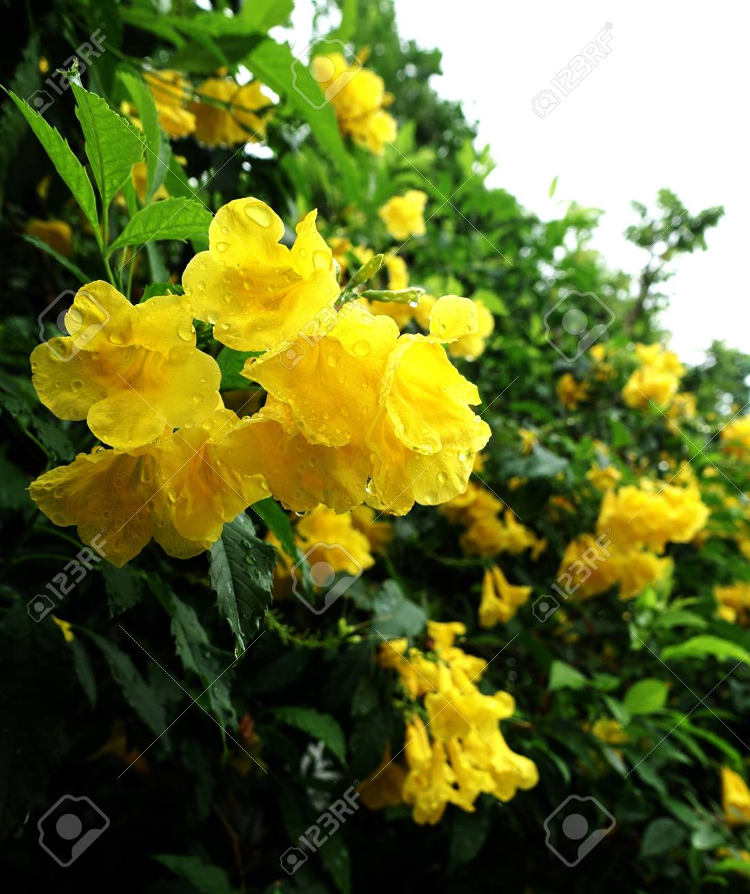 Yellow Bell Flower Stock Photo Picture And Royalty Free Image