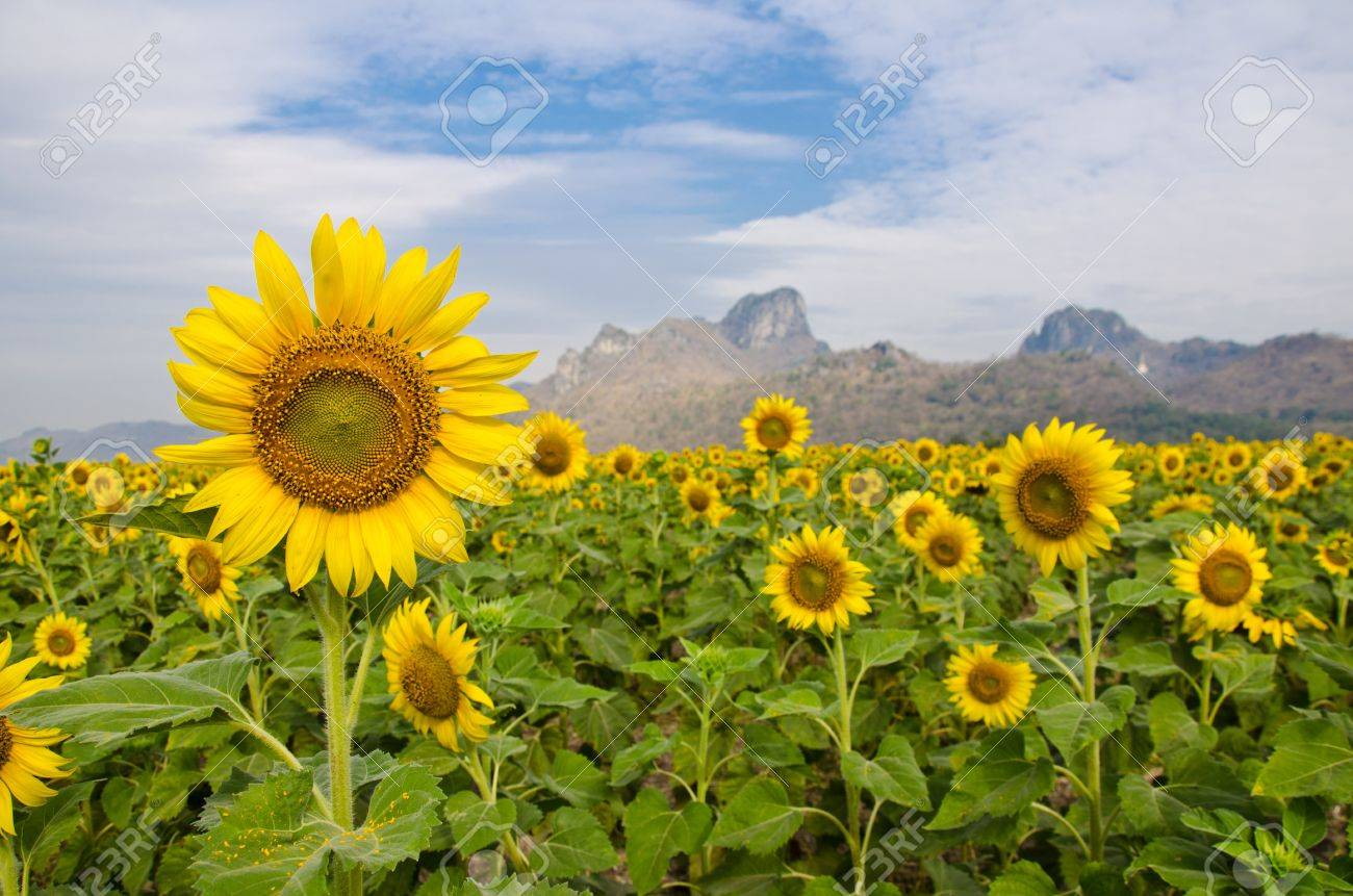 7649c6e0f4e010 Sunflower Garden Stock Photo, Picture And Royalty Free Image. Image ...