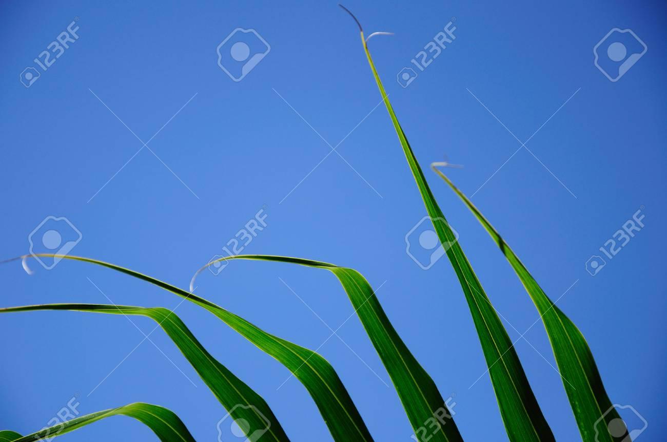 coconut leaf Stock Photo - 15502953