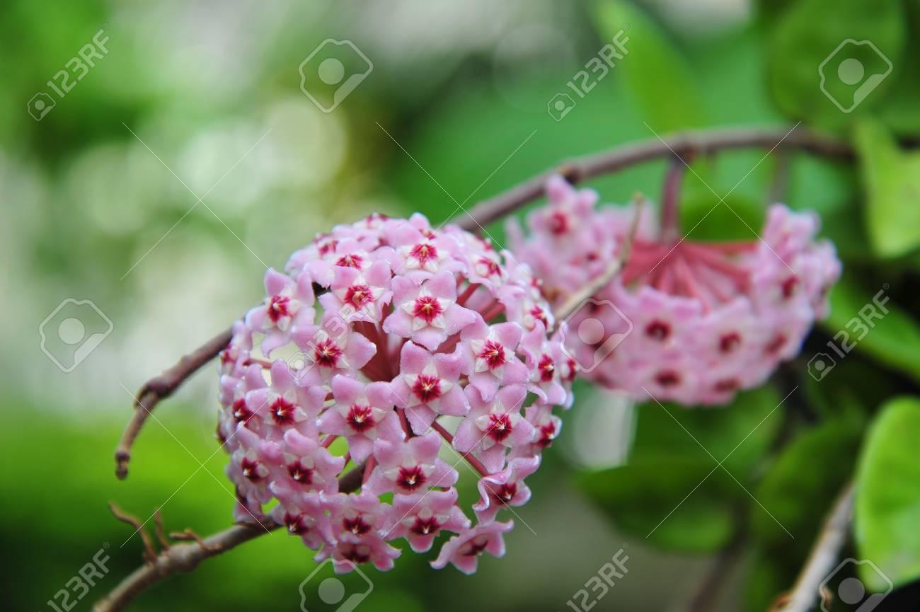 twin pink hoya Stock Photo - 15236010