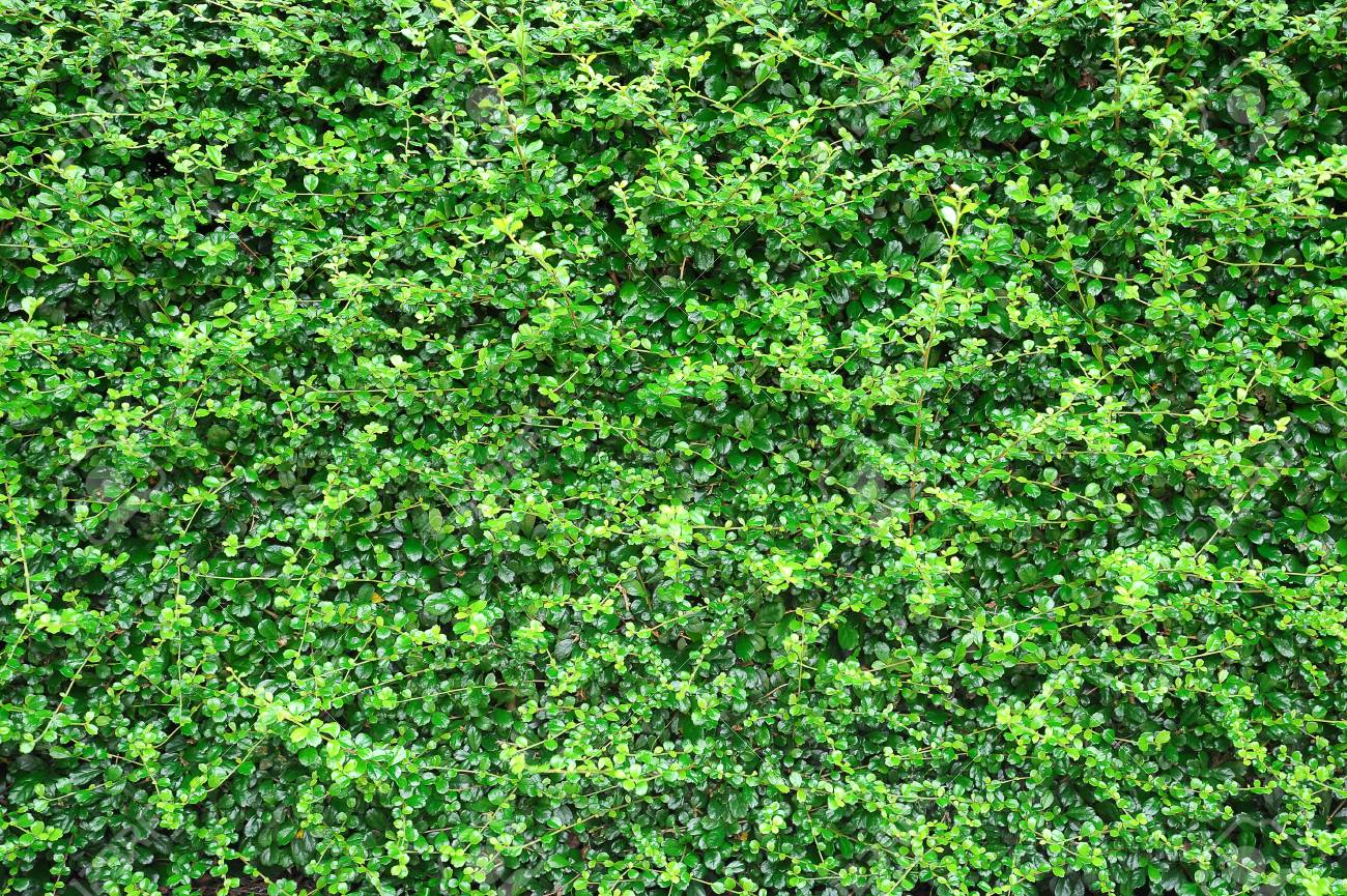 Green leaves wall background Stock Photo - 15950120