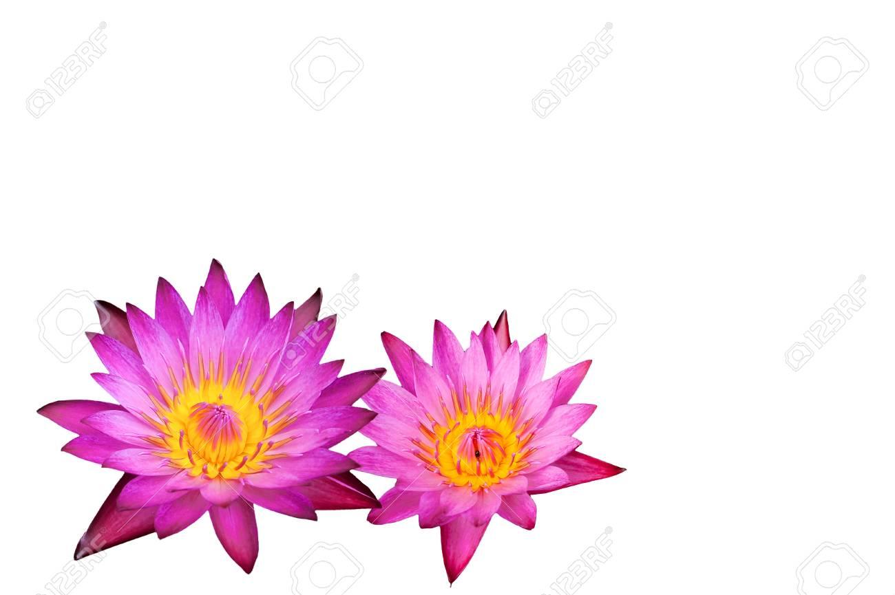 pink lotus flower on white background Stock Photo - 16379029