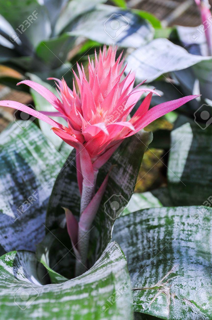 Pink flower of bromeliad plant silver vase bromeliad vriesea pink flower of bromeliad plant silver vase bromeliad vriesea pineapple stock photo 17386214 reviewsmspy