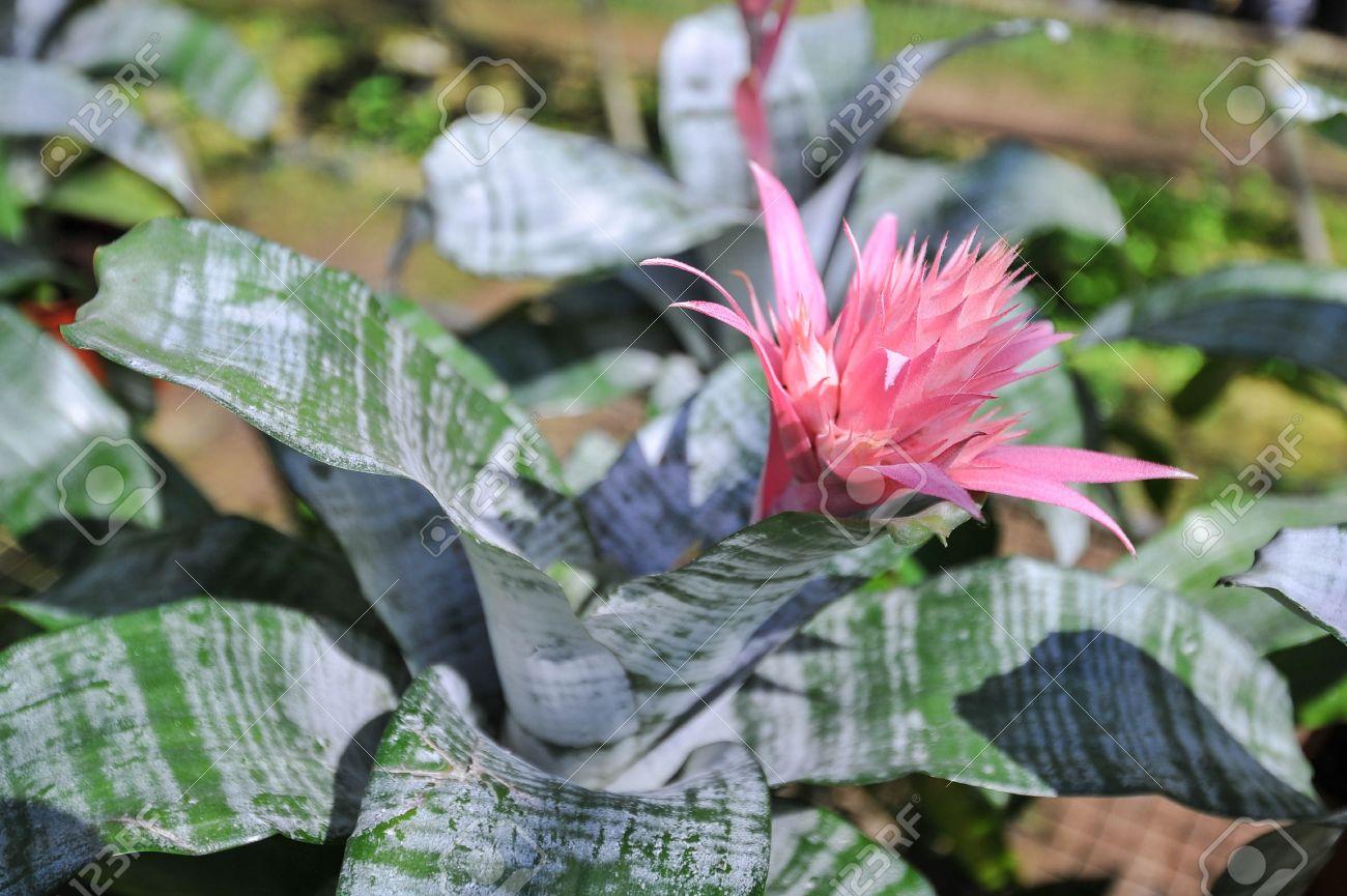 Pink flower of bromeliad plant silver vase bromeliad vriesea pink flower of bromeliad plant silver vase bromeliad vriesea pineapple stock photo 17386210 mightylinksfo