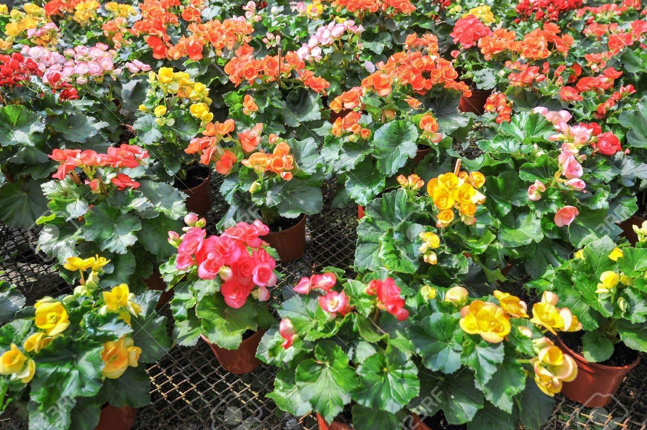 Many beautiful begonia flowers in garden stock photo picture and many beautiful begonia flowers in garden stock photo 17595151 izmirmasajfo