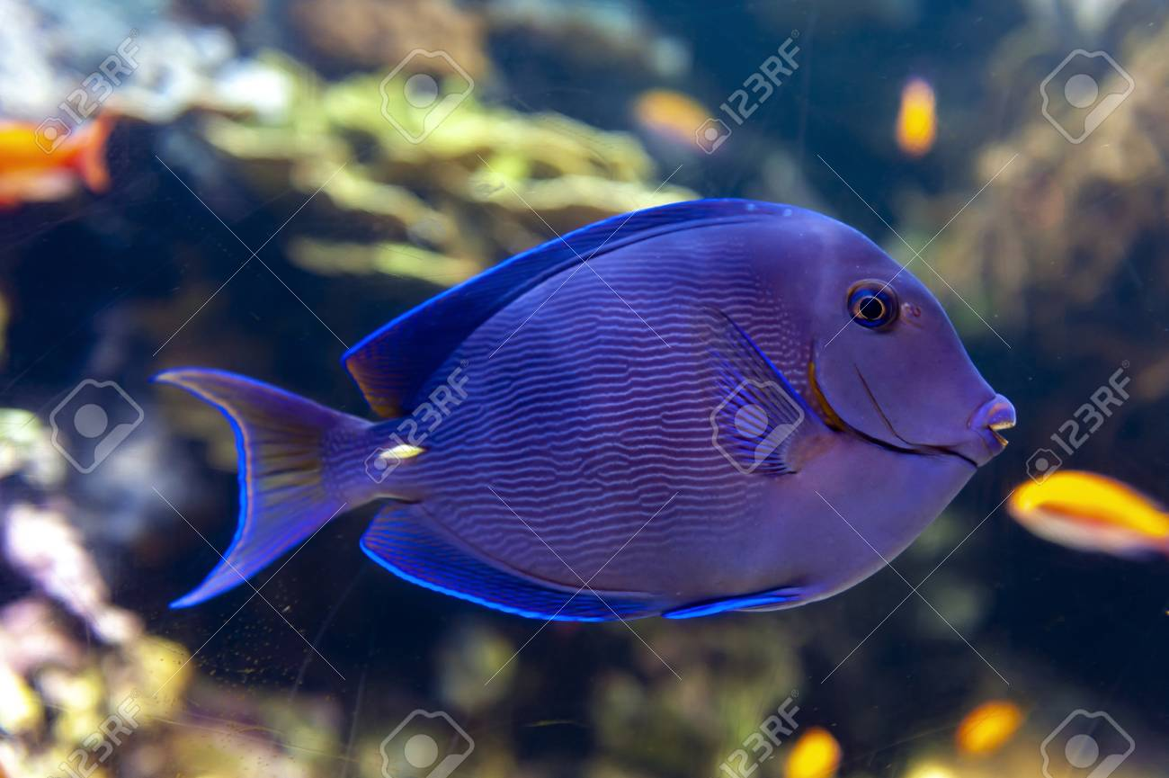A Coral Reef Fish Of Blue Tang Acanthurus Coeruleus A Surgeonfish Stock Photo Picture And Royalty Free Image Image 105400296