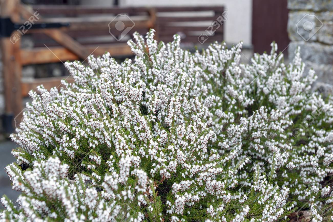 A Bunch Of Erica Carnea Flowering Subshrub Plant Also Known Stock