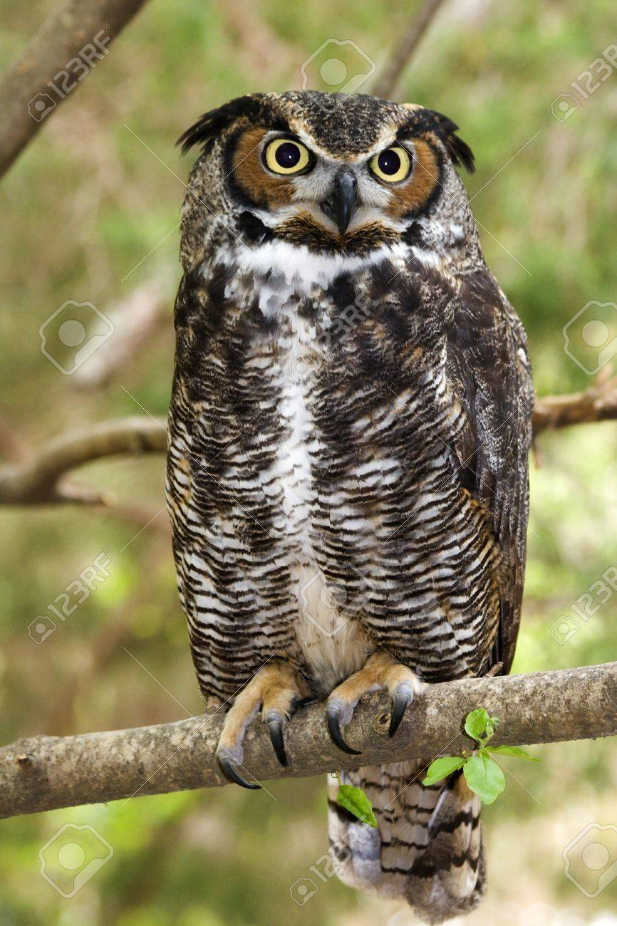 Great Horned Owl Stock Photo - 17127013