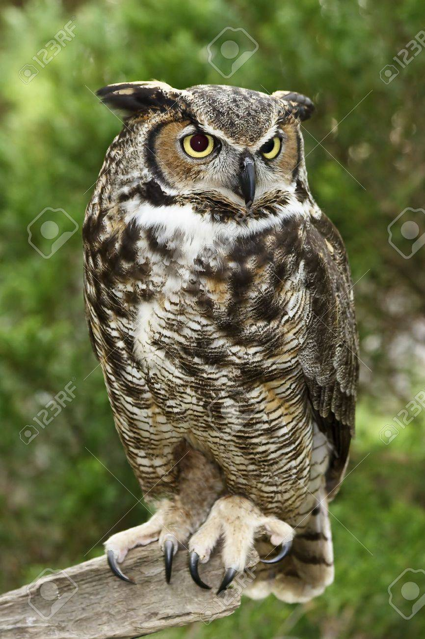 Great Horned Owl Standing on a Tree Limb Stock Photo - 17127014