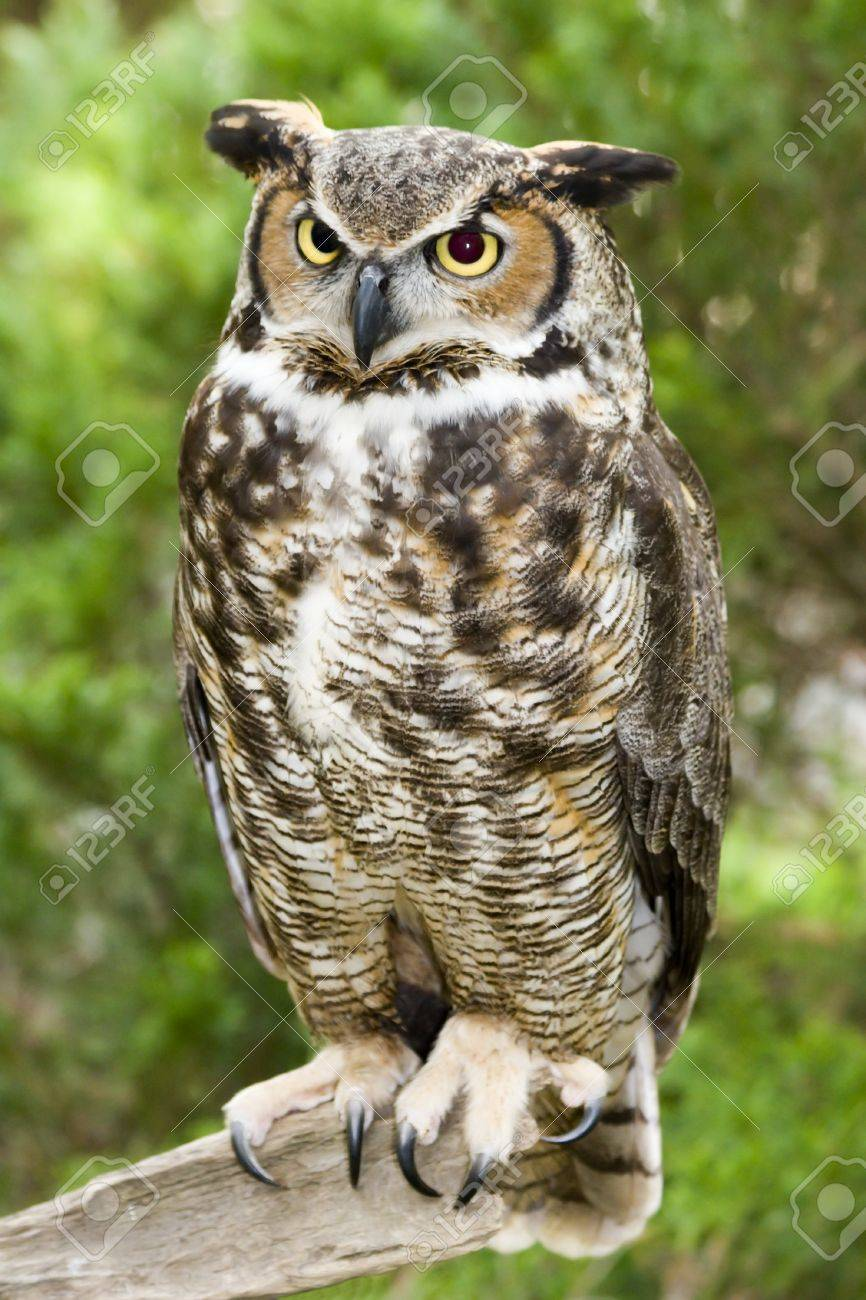 Great Horned Owl Stock Photo - 17131533