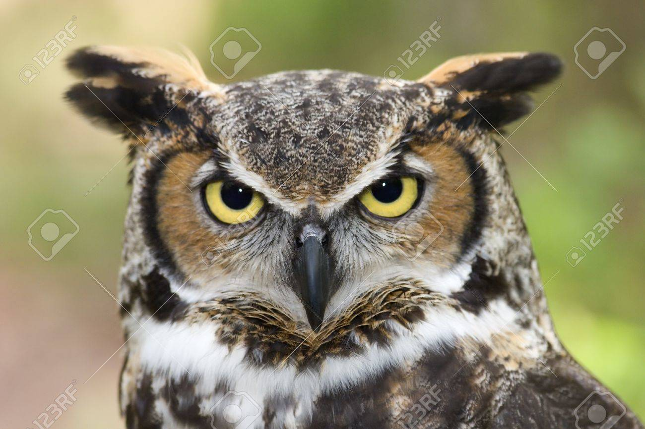 Great Horned Owl Headshot Stock Photo - 17133183