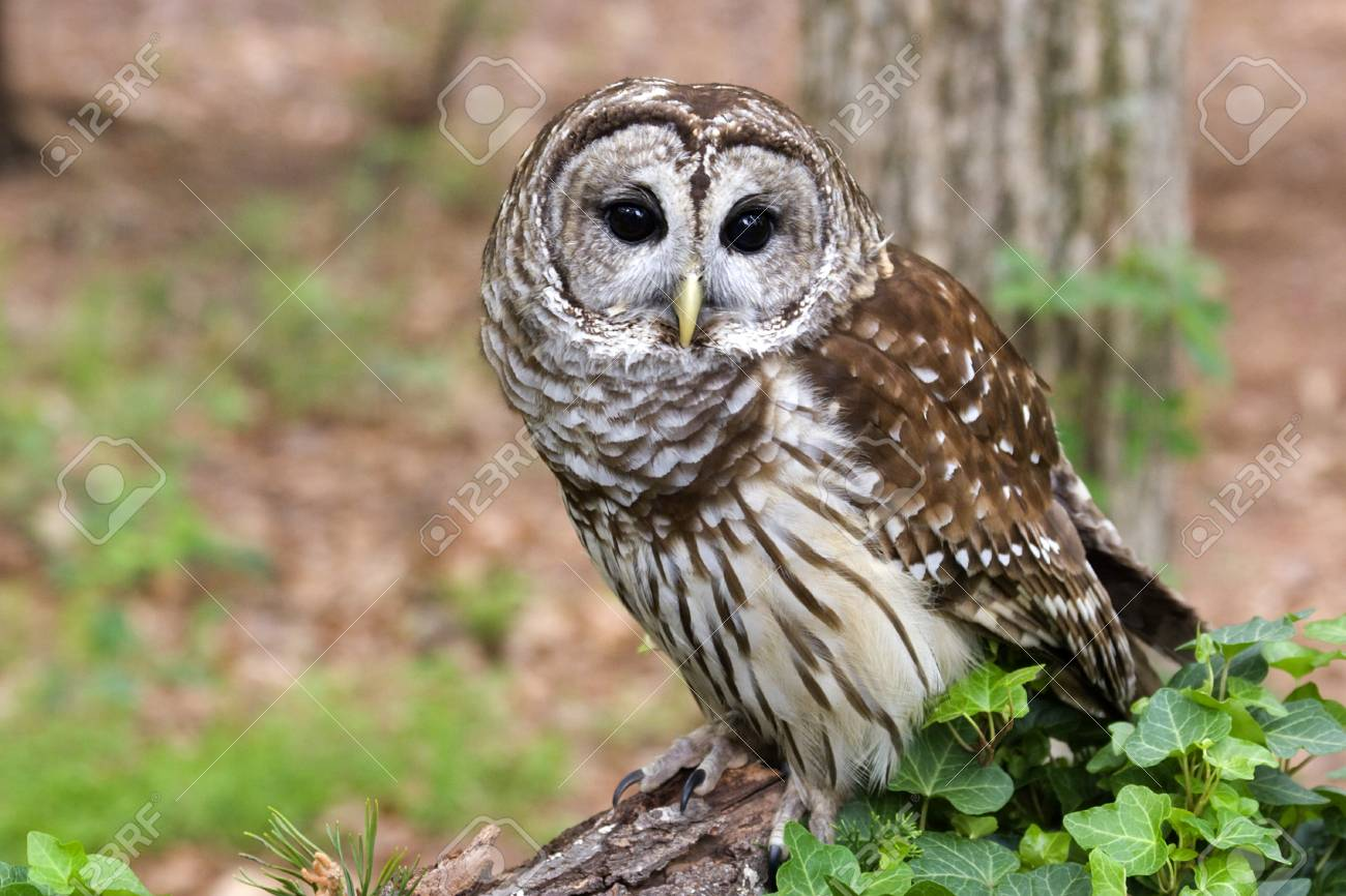 Barred Owl Stock Photo - 17152475