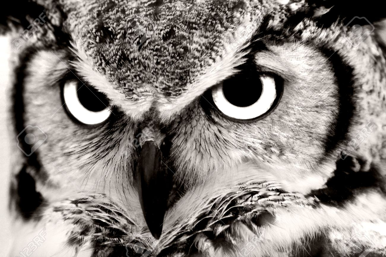 Black and white great horned owl closeup