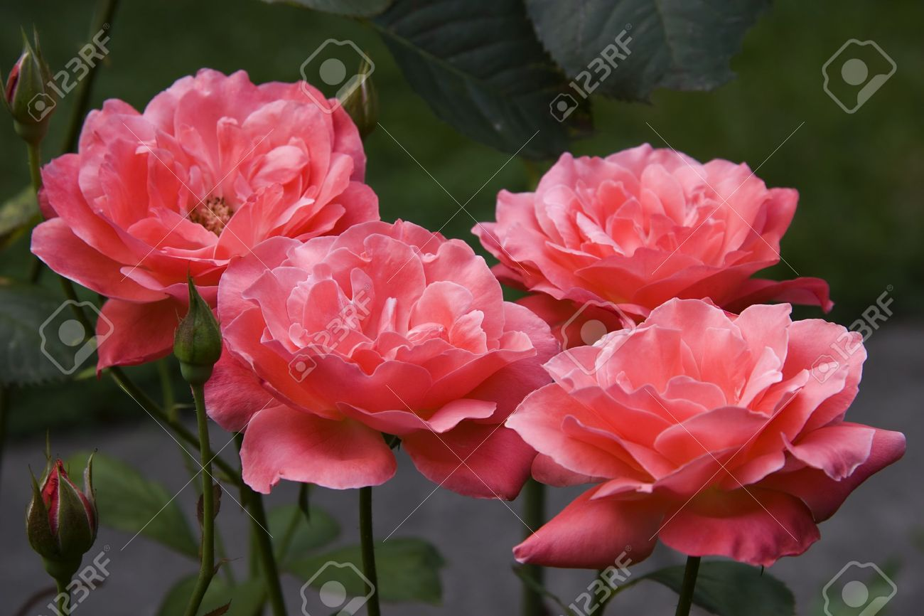 Coral Garden Rose coral tea roses stock photo, picture and royalty free image. image