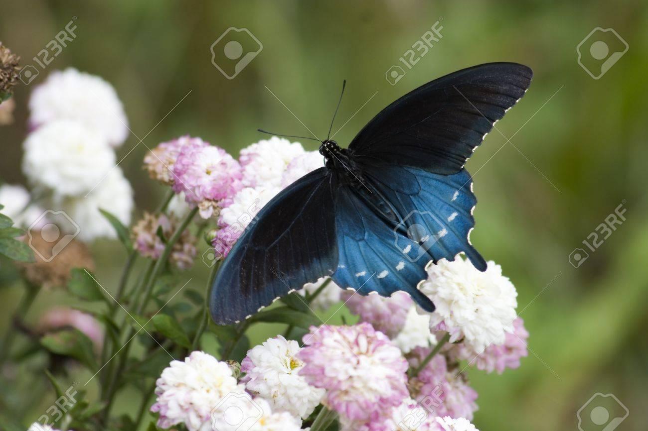 Black Swallowtail on Flowers Stock Photo - 17438825